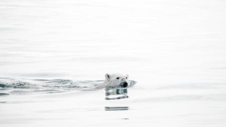 Bildet viser en isbjørn som svømmer i havet