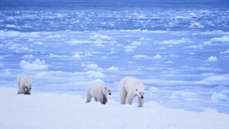 The image shows polar bears in the Arctic.