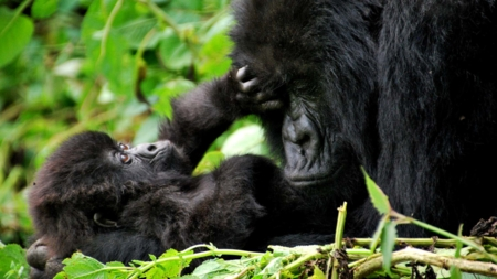 The image shows a baby and a mother mountain gorilla