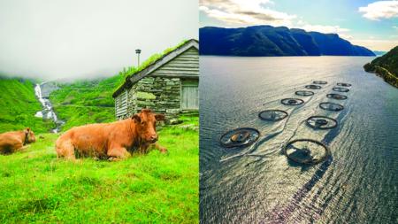 Bildet viser to sammenstilte motiver. Et av kyr i seterlandskap, og et av fiskerioppdrettsanlegg i Lofoten